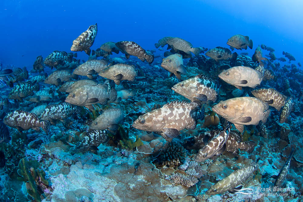 Camouflage groupers (Epinephelus polyphekadion) aggregate in French Polynesia's larger atoll passes every July near the full moon.