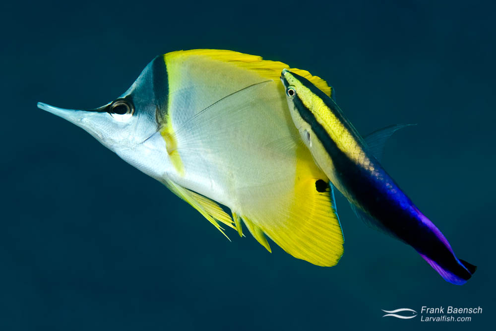 A Hawaiian cleaner wrasse picking dead skin and parasites off a Longnose Butterflyfish (Hawaii).