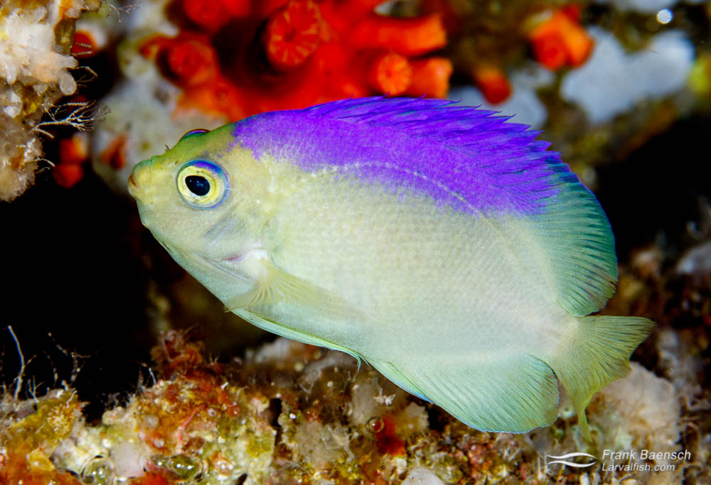 A rare Colin's angelfish (Centropyge colini) on a deep reef in Palau.