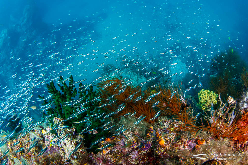 Convict blennies (Pholidichthys leucotaenia) racing over a colorful reef in PNG. Papua New Guinea.