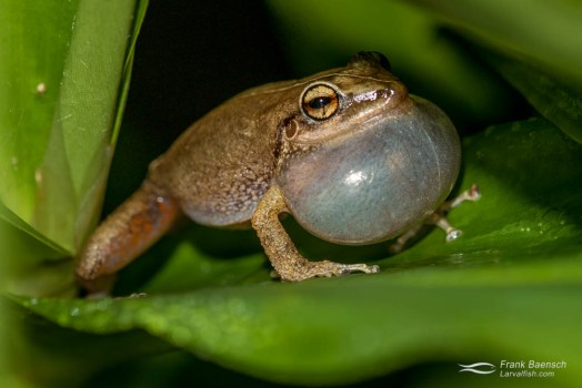 Coquí frog on the Big Island. Coquí frogs are named for their high-pitched nighttime mating calls (which have caused Big Island residents many sleepless nights). The Coquí frog is native to Puerto Rico.