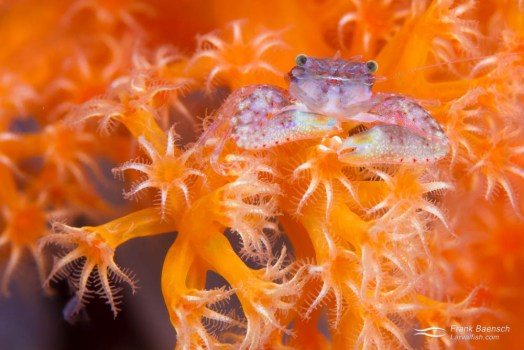 Crab on dendronephthya soft coral.
