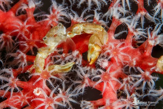Crab on a softcoral.