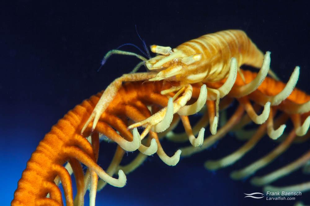 Crinoid shrimp (Hippolyte catagrapha). Philippines.