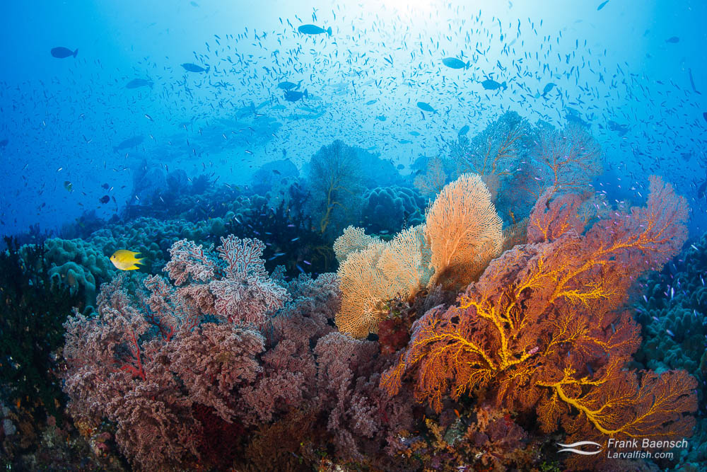 Anthias swarm around gorgonian on a reef in Eastern Fields, Papua New Guinea.