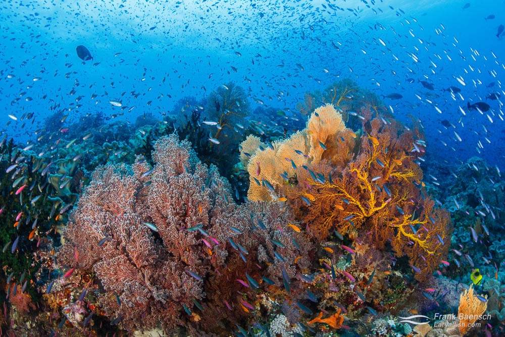 Anthias swarm over a colorful soft coral reef. Papua New Guinea.