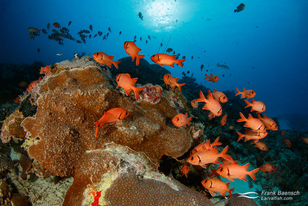 Epaulette soldierfish (Myripristis kuntee) schooling in Palau at sunset.