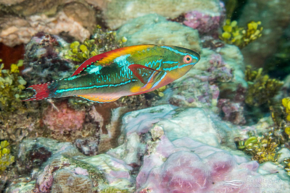 Exquisite wrasse  (Cirrhilabrus exquisitus) racing across a reef in PNG. Papua New Guinea.