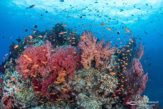 Anthis soft coral reef scene in Fiji.