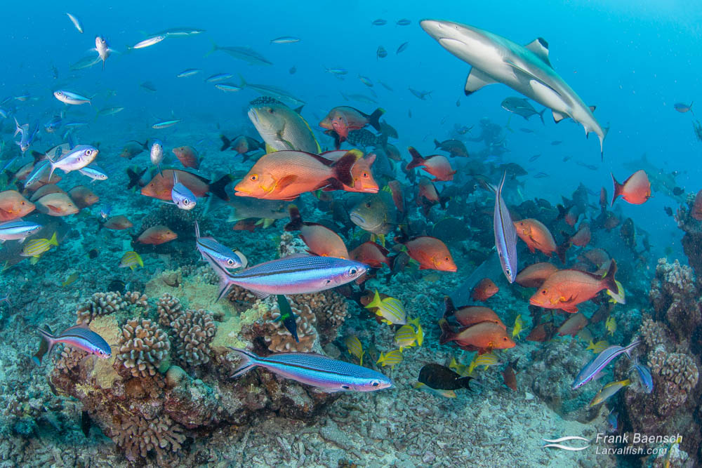 Snappers, fusiliers, and a blacktip reef shark cluster around bait on a reef off Tahiti, French Polynesia.