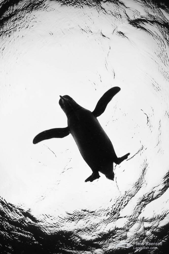 Silhouette  of a Galapagos penguin (Spheniscus mendiculus). Galapagos Islands.