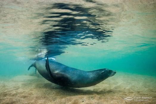Galapagos sea lion (Zalophus californianus) surface reflection.