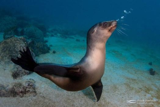 A young Galapagos sea lion (Zalophus wollebaeki) blowing bubbles.