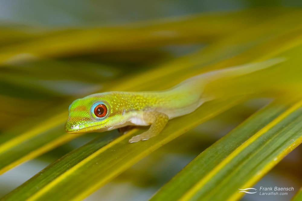 Gold-dust day Gecko (Phelsuma laticauda) baby on a palm leaf. Hawaii.