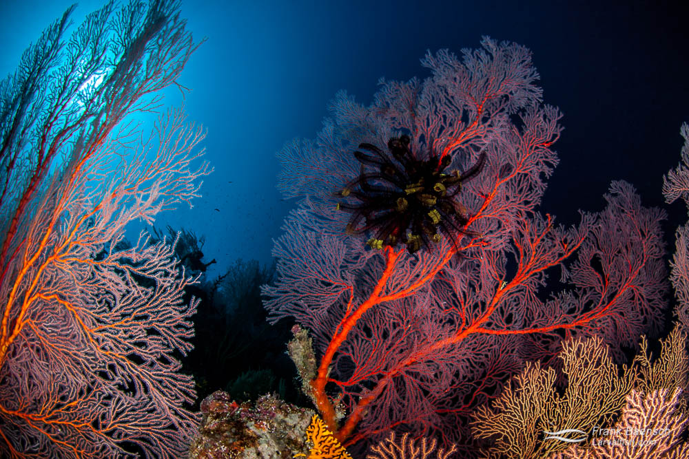 Gorgonians on a deep reef in the Solomon islands.