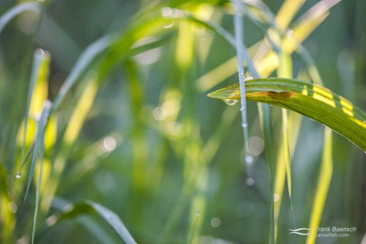 Grass with water droplets lights up in the morning sun.