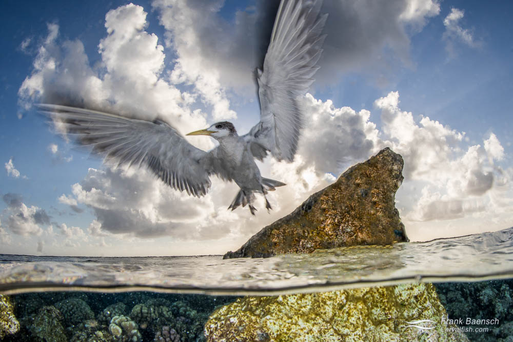 Greater crested tern (Thalasseus bergii) flies off a rock in Fakarava, French Polynesia.