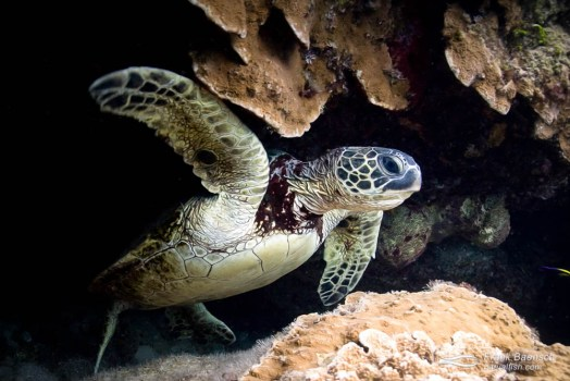 Green sea turtle swims out of a cave.
