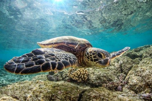Green sea turtle under sunrays in the shallows.