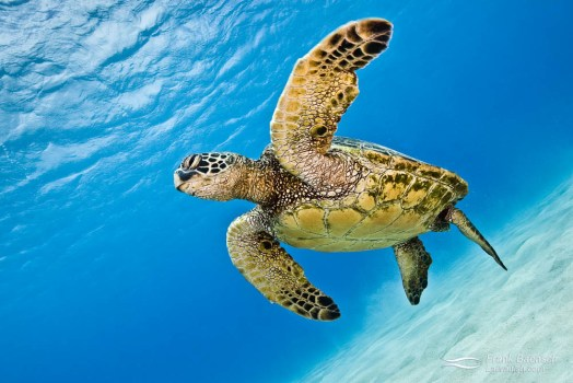 A green turtle (Chelonia mydas) swims above sand while dispalying its paddle-like flippers.