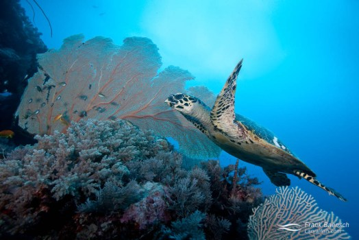 Hawksbill turtle (Eretmochelys imbricata) swims over soft corals.
