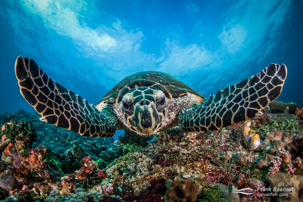 Head on shot of hawksbill turtle in Indonesia.