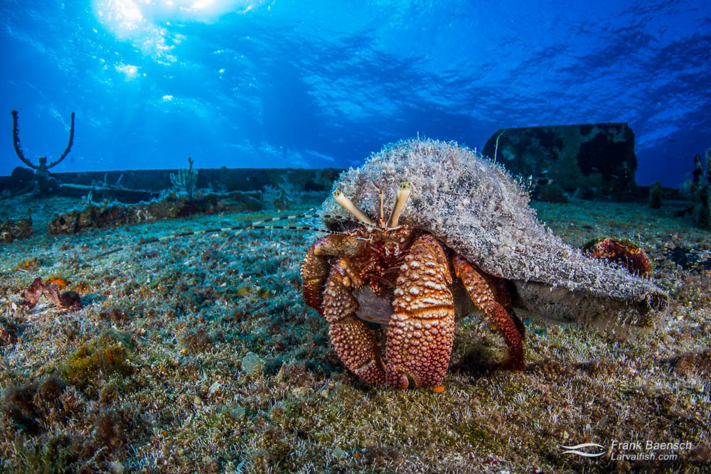 Giant marine hermit crab (Petrochirus diogenes ) on a wreck in the Bahamas.