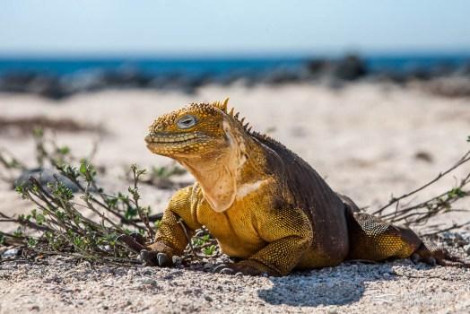 Galapagos land Iguana (Conolophus subcristatus).
