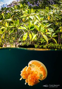 Over under scene of jellyfish under mangroves in Palau.