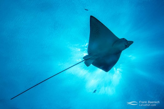 Juvenile spotted eagle ray (Aetobatus narinari) in Palau. Juvenile eagle rays are distinguished from adults by their long tail, which is almost twice as long as the body.