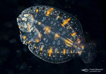 Peacock flounder  (Bothus mancus) juvenile on a blackwater dive in the Solomon Islands. Note both eyes are on the same side of the body - hence the fish is considered a juvenile, despite still being pelagic.