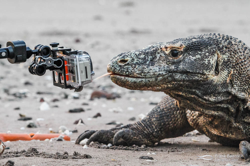 Komodo dragon meets GoPro. Indonesia.