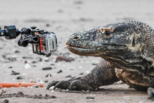 Komodo dragon meets GoPro.