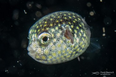 White-spotted puffer  (Arothron hispidus) larva on a blackwater dive in the Solomon Islands.