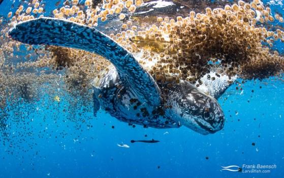 The rare sight of  a leatherback turtle (Dermochelys coriace) feeding on thimble jellyfish.