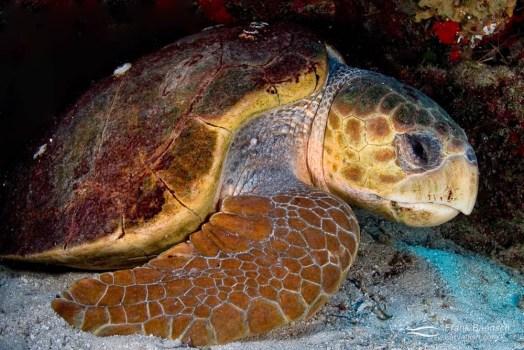 A loggerhead turtle (Carreta carreta) sleeping in a cave.