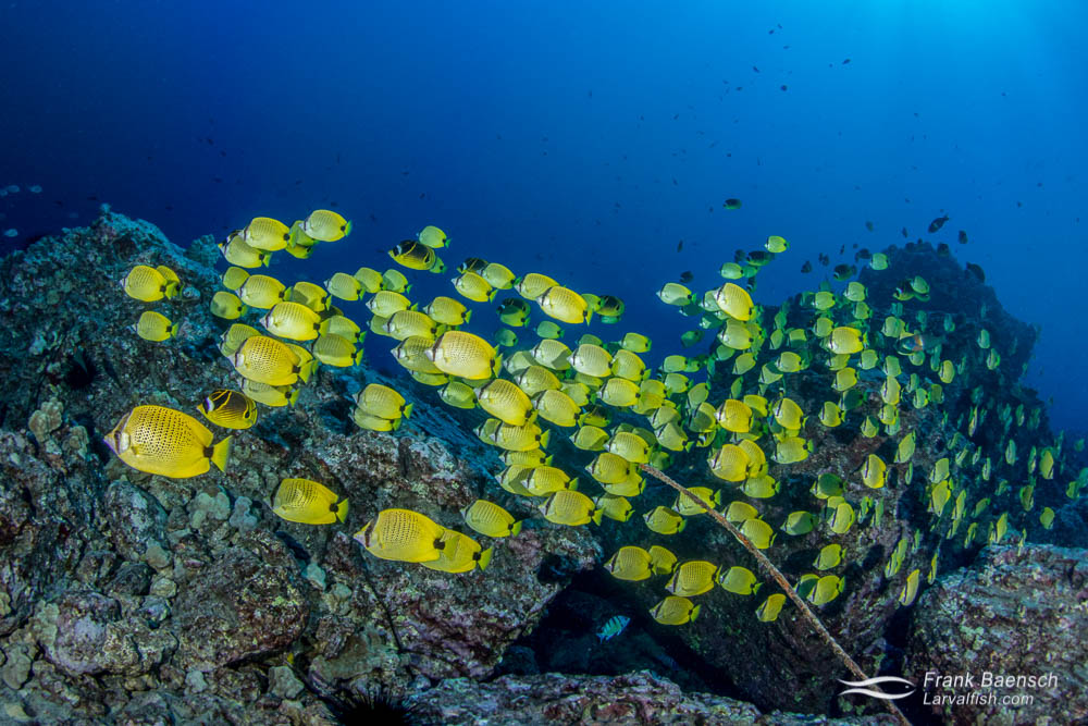 Schooling milletseed butterflyfish (Chaetodon miliaris) on a reef off Oahu, Hawaii.