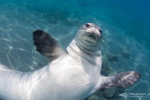 Hawaiian monk seal (Monachus schauinslandi) getting playful.