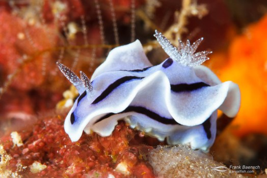 Nudibranch (Chromodoris willani).