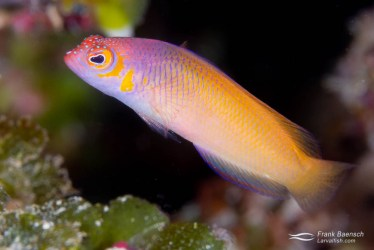Oblique-lined dottyback (Cypho purpurascens) color morph. The body color of this species is usally more reddish-pink.