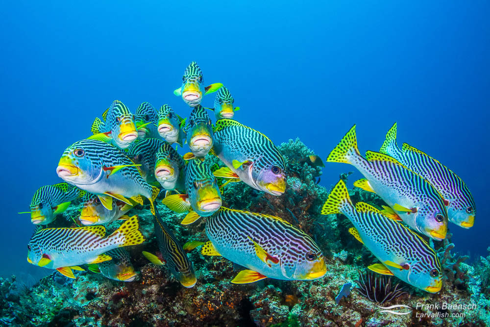 A small school of oriental sweetlips (Plectorhinchus vittatus) on a bommie. Indonesia.