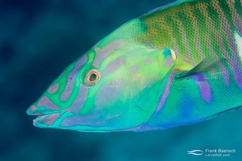 Head shot of pastel ring wrasse (Hologymnosus doliatus). Fiji.