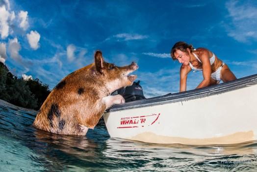 Girl feeding pig from a boat in the Exumas, Bahamas.