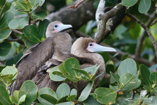 Two red-footed boobys. Cocos Island.