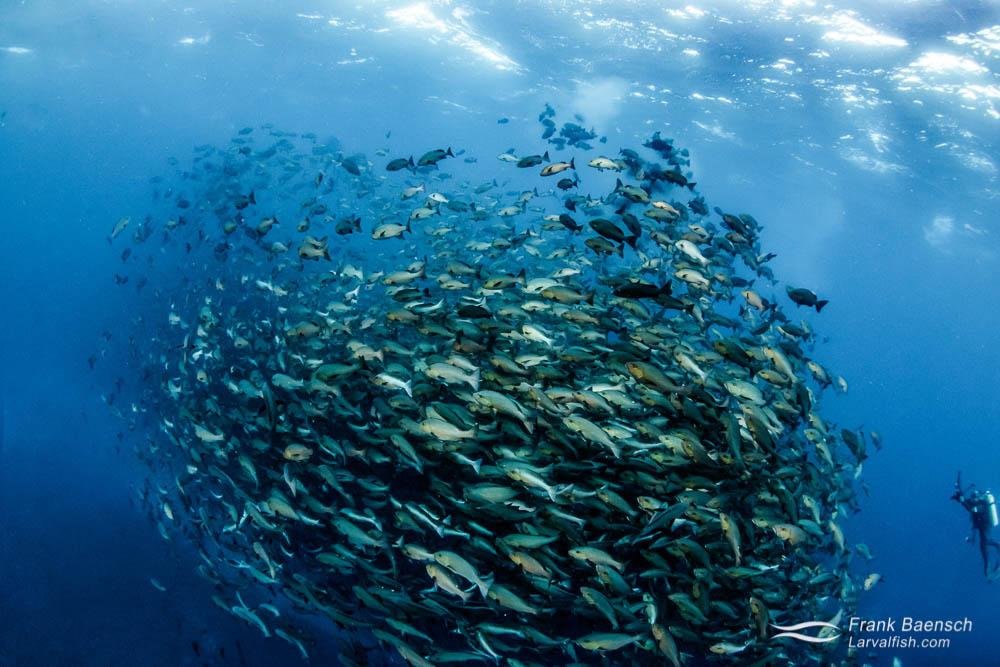 Red snapper (Lutjanus bohar) spawning aggregation. Palau.