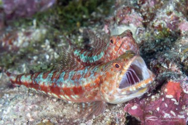A male reef lizardifish (Synodus variegatus) yawns with the female close behind. Lizardfish live a solitary lifestyle, except when spawning.