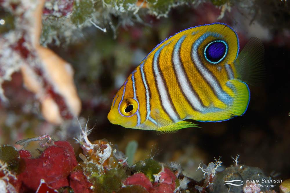Juvenile regal angelfish (Pygoplites diacanthus). Palau.
