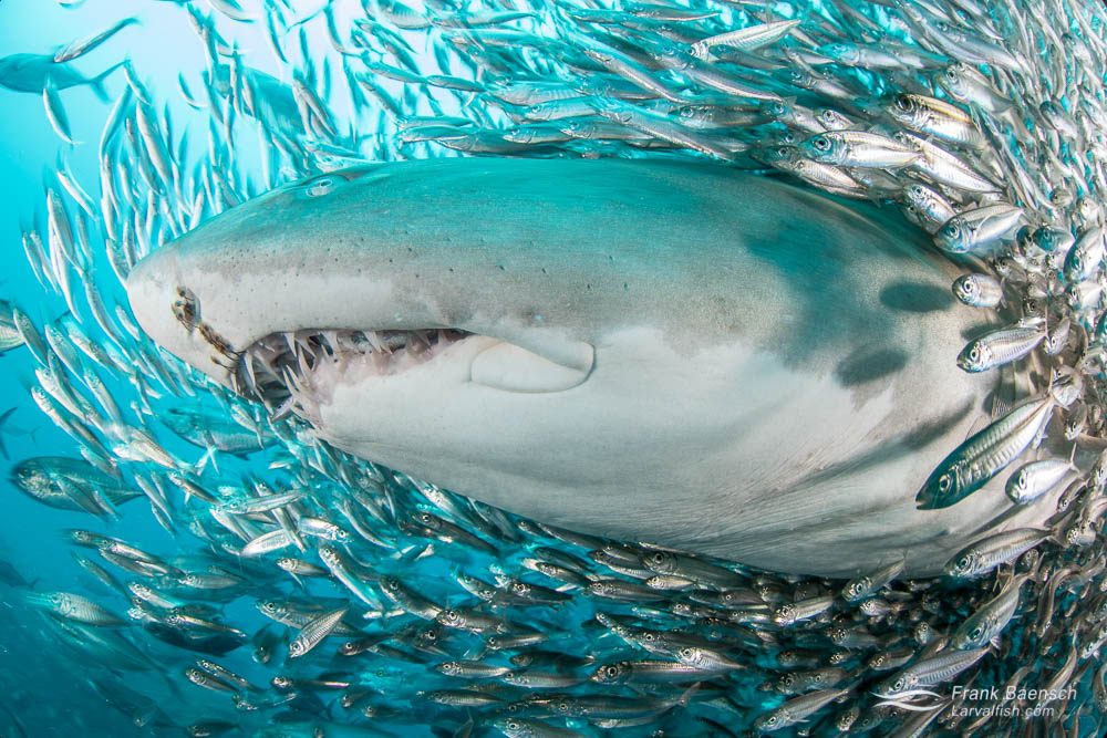 A sand tiger shark (Carcharias taurus) surrounded by round scad (Decapterus punctatus) brushes up against my camera port. The scad cluster around the shark for protection from predators, such as jacks and tunas. North Carolina.