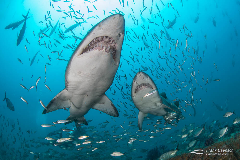 Upclose encounter of two sand tiger sharks (Carcharias taurus). Despite their vicious appearance, sand tigers  are actually rather docile. North Carolina.