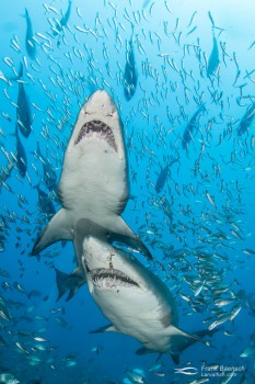 Upclose encounter of two sand tiger sharks (Carcharias taurus).